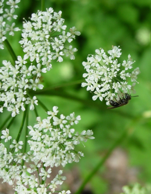 Small bee on Ground Elder inflorescence
