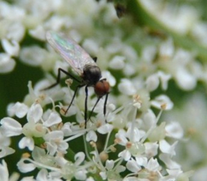 Small empid fly on ground elder