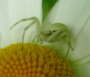 Spider on Ox-eye daisy