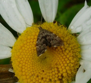 Moth on Ox-eye daisy