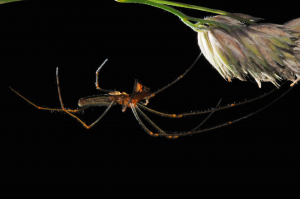Stretch Spider (Tetragnatha)