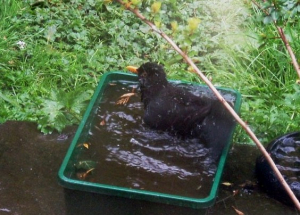 Male blackbird having a mud and water bath