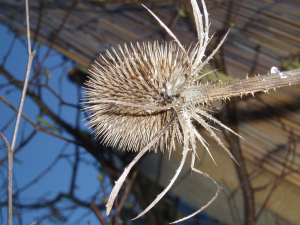 Teasel in winter