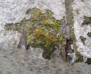 Moss on wall - unsure about mosses