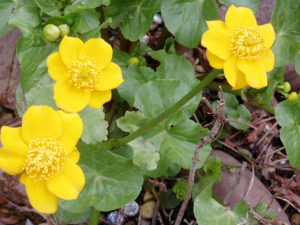 Marsh marigold or King  Cups