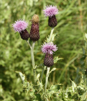 small purple thistle