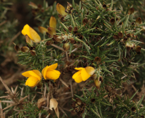 Early Gorse