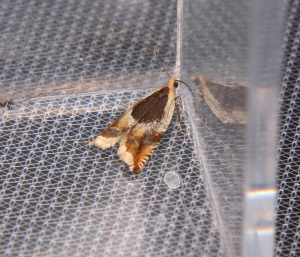 small coloured moth