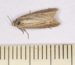 IMG_1009is small pale moth