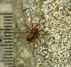 IMG_2361is spider brown