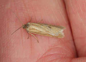 IMG_1649is (small pale moth)