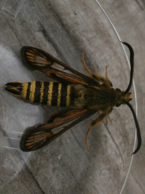 six belted clearwing moth