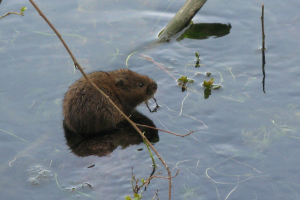 IMG_6131 water vole