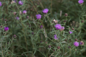 Black Knapweed, ?