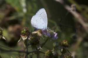 Holly Blue, Butterfly