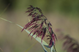 Grass/sedge