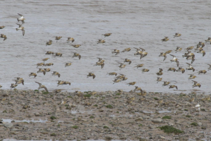 Golden Plover, flight shots