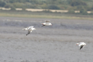 Common Gull and Black-headed Gulls