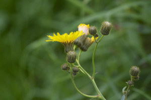 ? Perennial Sow-thistle