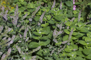 Mint, Round-leaved