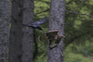 Carrion Crow chasing buzzard