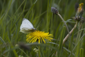 Green-veined white feeding on Dandelion