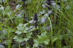 Bugle growing in woodland verge