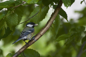 Great Tit, with food