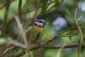Blue Tit, with caterpillar