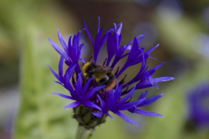Cornflower, visited by Early Bumblebee