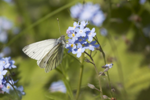 Green-veined White feeding on forget-me-not sp