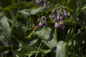 Common Carder Bee visits Comfrey sp