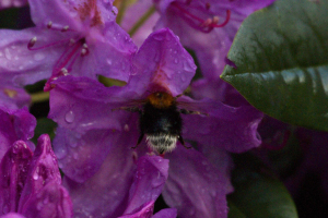 Tree Bumblebee, visiting rhododendron