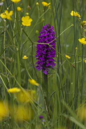Marsh Orchid, ? Northern