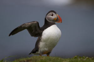 Move along please, it's this way…Puffin
