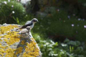 Wheatear; adult and fledgling