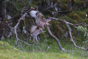 Buzzard catching rabbit
