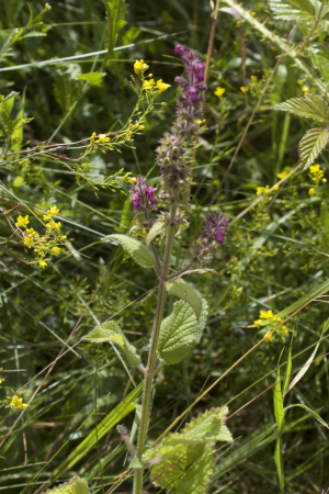 Hedge Woundwort ?