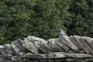 House Sparrow on dry stone wall