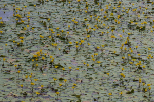 ? Fringed Water-lily