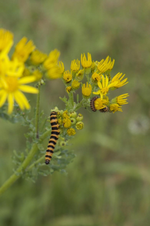 Cinnabar Moth, caterpillar