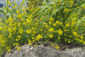 UID small yellow flowers
