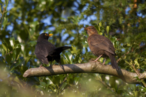 Blackbirds, male and juvenile
