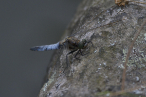 ? Black-tailed Skimmer