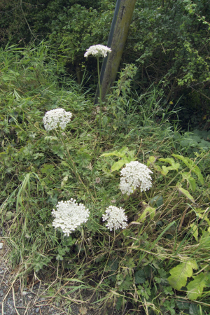 Umbellifer..is this Wild Carrot