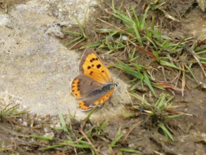 Small Copper, Butterfly