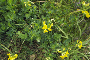 Birsfoot Trefoil, ? Greater