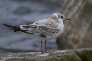 Black-headed Gull, juvenile