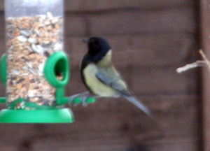 Spotted in the garden, looks like a great tit with a black head...any ideas?