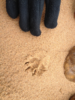 Otter or dog prints?